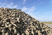 Nederland, Warffum, 14-10-2018 Grote stapel, berg, suikerbieten ligt op het land tijdens de suikerbietencampagne. Foto: Flip Franssen
