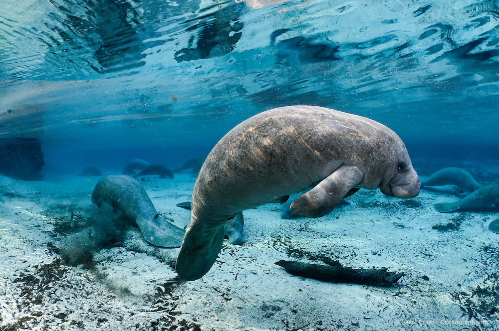 Florida manatee, Trichechus manatus latirostris, a subspecies of the West Indian manatee, endangered. A series of manatees gathering near the warm springs during the bitter cold period of early January 2010. Many manatees gather and try and stay warm around the warm blue freshwater of the natural springheads. One of the male manatees is floating with warm sun rays on his back. Manatees need these natural warm springs to survive cold weather, like today. Horizontal orientation with blue water and many manatees with reflection and warming sun rays. Some fish, bream, Lepomis spp. are visible in the background. Three Sisters Springs, Crystal River National Wildlife Refuge, Kings Bay, Crystal River, Citrus County, Florida USA.