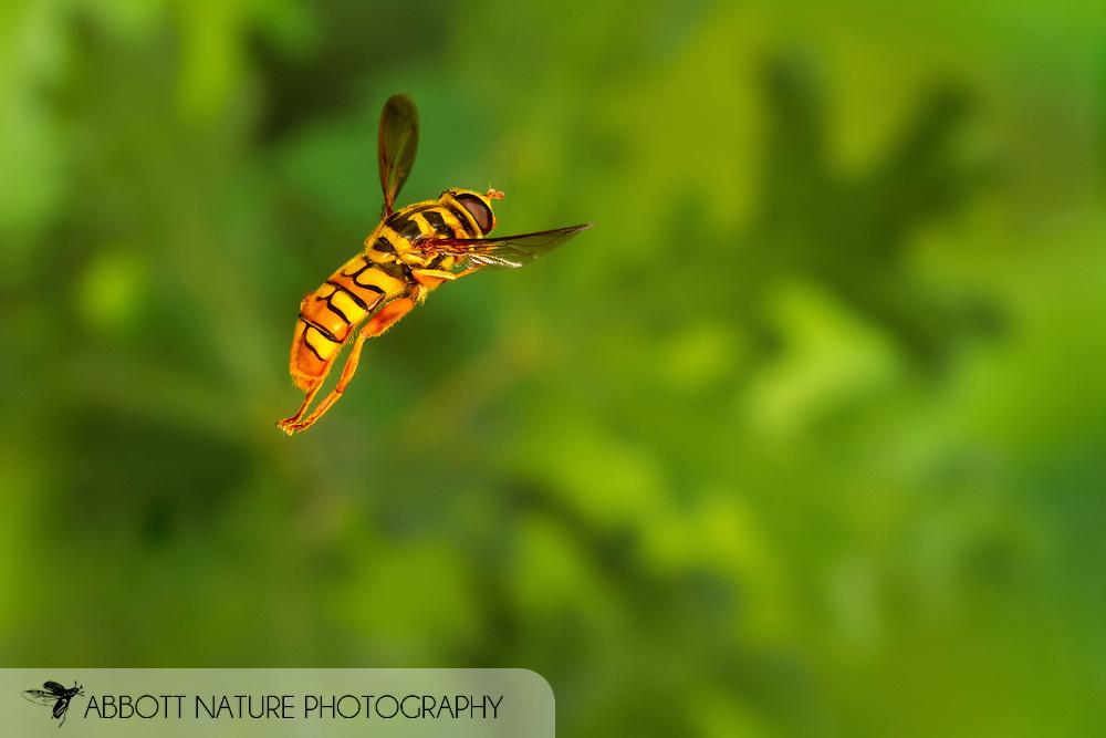 Yellowjacket Hover Fly (Milesia virginiensis) flying<br /> United States: Alabama: Tuscaloosa Co.<br /> Tulip Tree Springs off Echola Rd.; Elrod<br /> 3-Jun-2016<br /> J.C. Abbott #2825 &amp; K.K. Abbott