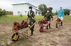 "Orphaned baby orangutans moving into the new International Animal Rescue (IAR) centre in Ketapang, Borneo. All the babies have either been saved from a life of being kept in a cage by a wealthy local wanting a trophy pet or found abandoned on a palm oil plantation where they would have been killed by plantation workers.IAR have brought 64 acres of land where the orangutans live and learn how to survive in the wild. Every night they are taken by wheelbarrow back to safe cages before being taken back out at dawn. Orangutans have difficulty walking on the ground as they spend 90 per cent of their time swinging in the treetops, wheelbarrows are the perfect way to move them around quickly. Alan Knight OBE, Chief Executive of International Animal Rescue,the charity based in East Sussex, UK,  said: 'We have given the babies their freedom at the new centre but there is more work to be done and more money needs to be raised so we can release the adults, this phase two of the project."".To donate please go to www.melysisland.com or www. internationalanimalrescue.org Photo by: Roger Allen /  i-Images"
