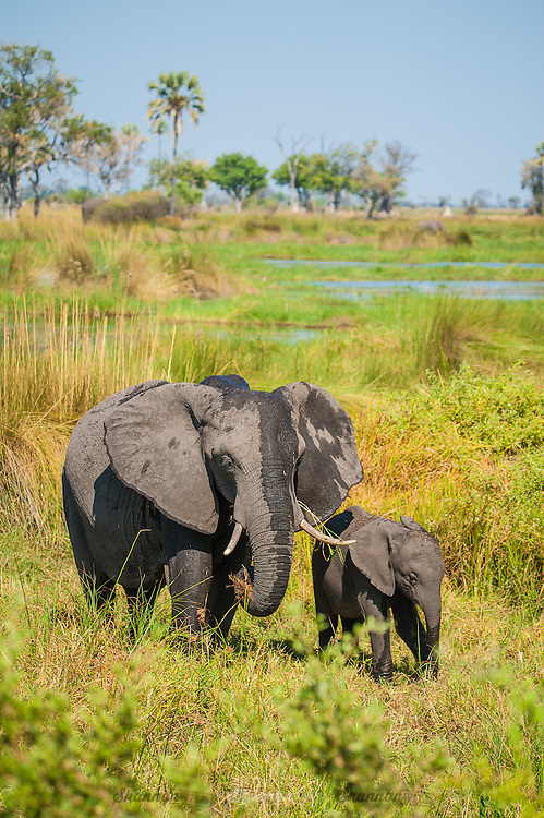 African Elephant with calf in the Okavango Delta, Botswana