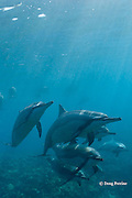 Hawaiian spinner dolphins or Gray's spinner dolphin, Stenella longirostris longirostris, Kona, Hawaii, USA ( the Big Island ) Central North Pacific Ocean