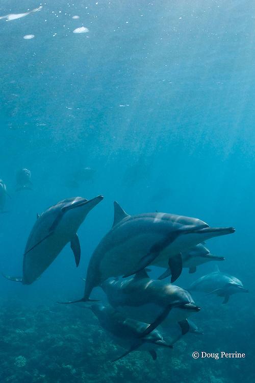Hawaiian spinner dolphins or Gray's spinner dolphin, Stenella longirostris longirostris, Kona, Hawaii, USA ( the Big Island ) Central North Pacific Ocean