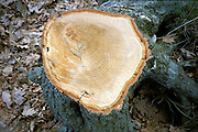 trunk of cut down tree