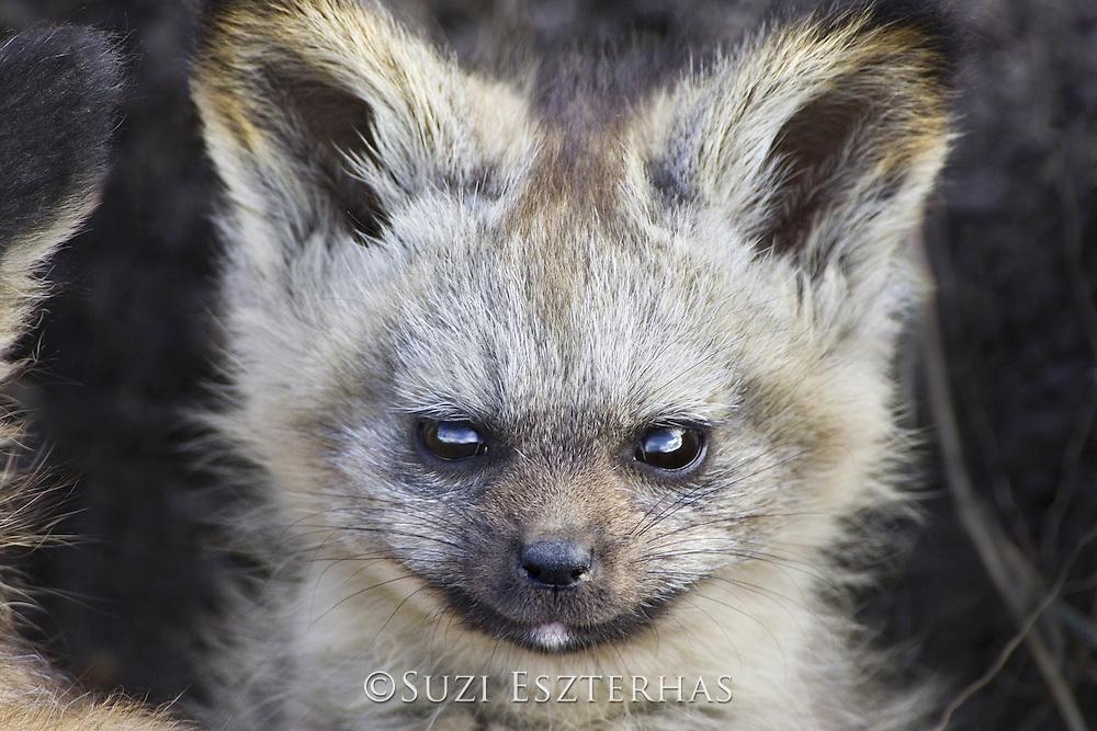 Bat-eared fox<br /> Otocyon megalotis<br /> Masai Mara Conservancy, Kenya