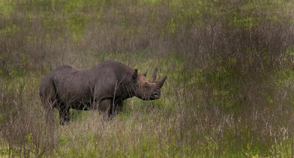 The Black Rhinoceros - Kifaru