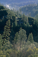 Morning mist rising over pine forest along the North Fork of the Consumes River, El Dorado County, California