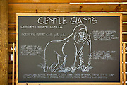 Blackboard chalk drawing about lowland gorillas Columbia, SC