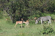 Impalas (Aepyceros melampus) and Zebra (Equus quagga) grazing. Photographed in Kruger National Park, South Africa.