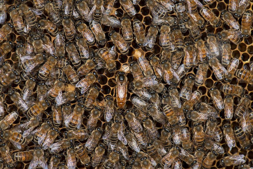 European honey bee (Apis mellifera), Tending the queen, Captive,  credit: Palo Alto JMZ/M.D. Kern