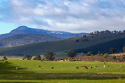 Sheep graze in front of the Great Western Tiers near Blackwood Creek  in northern Tasmania.