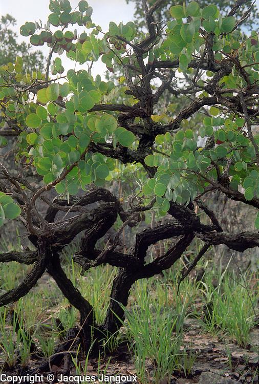 Contorted small tree in savanna (cerrado) biome, Brazilian  Highlands, Goiás State, Brazil.
