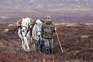Traditional deer stalking using Highland ponies to carry deer carcass off hill, Scotland