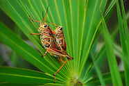 Grasshoppers & Locusts