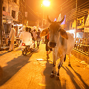 A sacred cow is unmoved by the hustle and bustle of the streets of Varanasi, Uttar Pradesh, India.