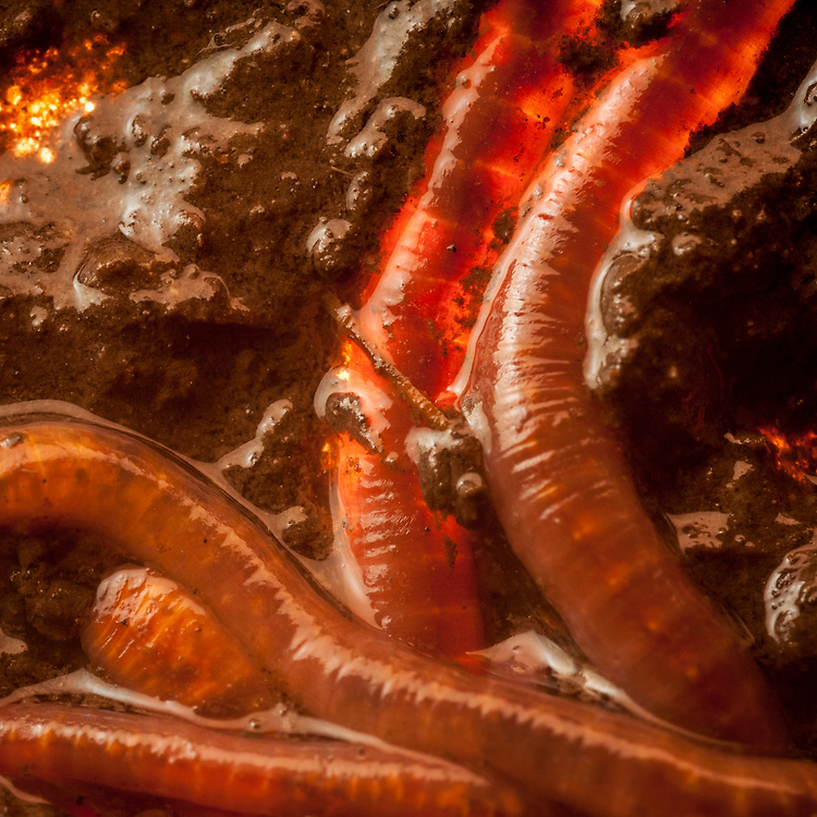 Earthworms in compost turn waste into soil.  Worms from the lifeline in soil, moving nutrients and recycling organic matter.
