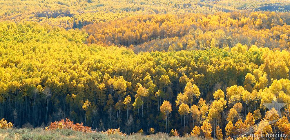 panoramic view of fall aspen in Woodland, Utah USA