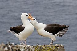 Black brod albatross, Westpointe Island, Falklands