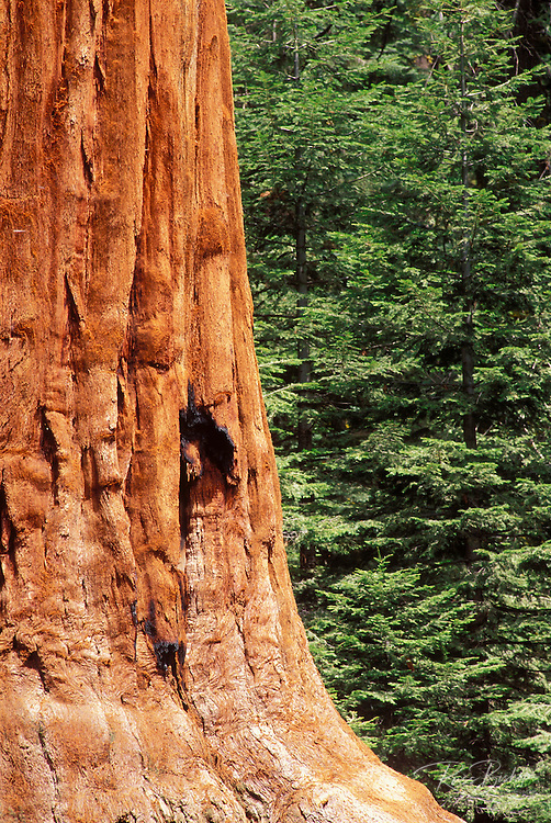 Giant Sequoia and young pines in the Giant Forest, Sequoia National Park, California