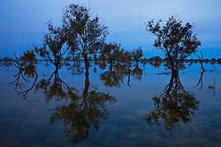 Flooded trees in Cooper Creek reflect in water in blue light of dusk,.Cooper Creek, South Australia, Australia