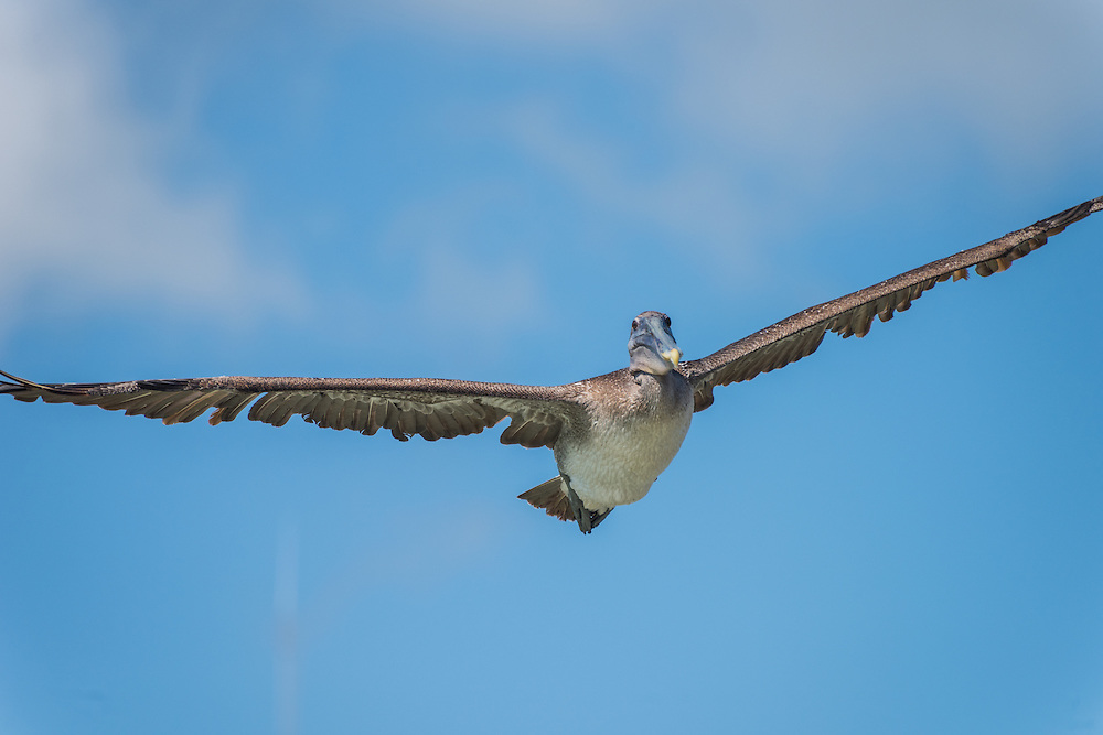 A pelican flyes over the water, only to dive down seconds later in search of fish, Santa Cruz, Galapagos, Ecuador.