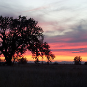 Oak at Sunset. Lincoln, CA