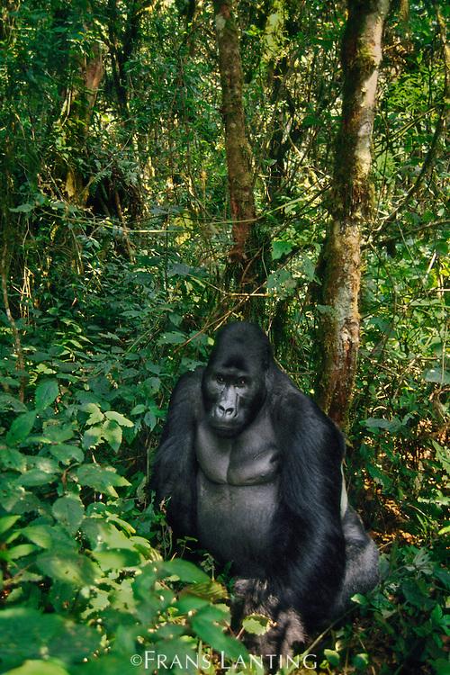Eastern lowland gorilla, Gorilla gorilla graueri, Kahuzi Biega National Park, Democratic Republic of Congo