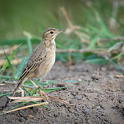 The paddyfield pipit, or Oriental pipit, (Anthus rufulus) is a small passerine bird in the pipit and wagtail family.