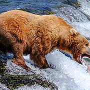 Brown bear catching sockeye salmon in Alaska at Brooks Falls in Katmai National Park