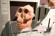 Skull of Paranthropus Boisel, archaeology museum, Jerez de la Frontera, Cadiz Province, Spain