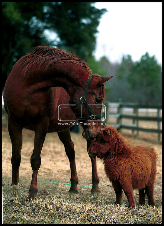 1st February 2001, Kittrell, North Carolina. Cuddles a pigmy horse, who is the first guide horse for the blind, pictured with Ras. <br /> <br /> Photo Copyright John Chapple / www.JohnChapple.com