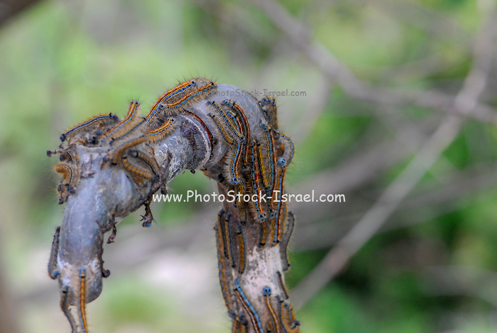 Caterpillars of a processionary moth (Thaumetopoea Sp.)