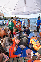 Manatee Health Assessments, Kings Bay, Crystal River, Citrus County, Florida USA. November 10, 2011 am. Researchers from several federal and state agencies work together to gather data during the manatee capture and health assessments. Under a canopy assessment data is acquired and the manatee kept as comfortable as possible. The manatee in only kept out of the water for a safe, pre-determined timespan.