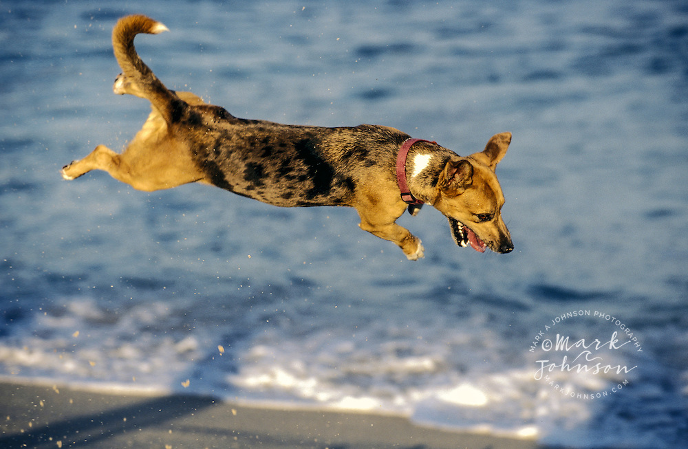 Dog leaping in the air at beach