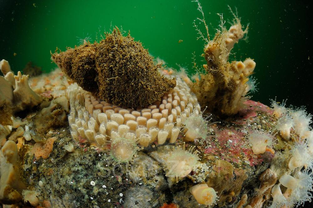 Hairy triton (Fusitriton cancellatus) on Egg masses composed of numerous egg capsules. Comau Fjord, Patagonia, Chile