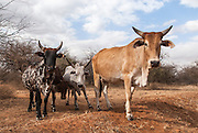 Domestic cattle from Kenya, Amboseli National Park, Kenya