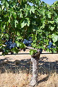 Tempranillo grapes at Finca Villacreces, Ribera del Duero wine production bodega by River Duero, Navarro, Spain