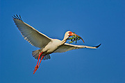 White Ibis in flight with nesting material
