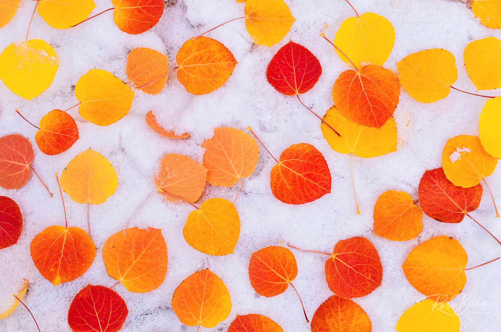Fall aspen leaves on snow, Inyo National Forest, Sierra Nevada, California USA