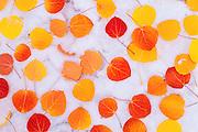 Fall aspen leaves on snow, Inyo National Forest, Sierra Nevada, California USA