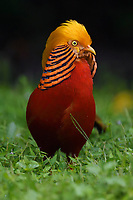A vertical portrait of a male Golden pheasant, Chrysolophus pictus, standing and displaying in grass in Yangxian Nature Reserve, Shaanxi, China