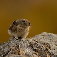 Pika on the Savage River trail in Denali National Park posing on a boulder in the fall color.