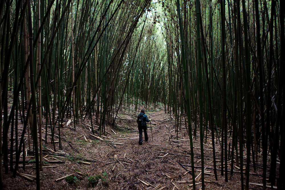 Hiking through a bamboo forest to track Mountain Gorillas