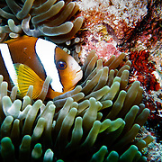Clown fish seen during a dive on the Great Barrier Reef. Nemo's famous fish.