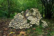 Sulphur Tuft - Hypholoma fasciculare