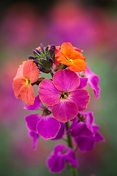 Erysimum 'Winter Orchid'. Wallflower