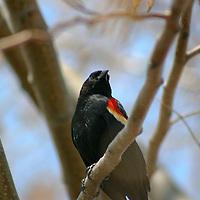 Red winged backbird in Wetland (swamp, bog, swale, marsh).