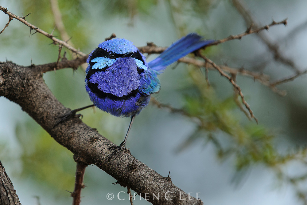 A male Splendid Fairy-wren (Malurus splendens) shows off his gaudy colors. Western Australia.