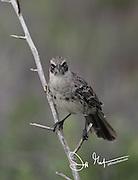 A Galapagos mockingbird perches on a branch on Española island in the Galapagos archipelago of Ecuador.