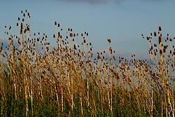 teasel Dried weeds